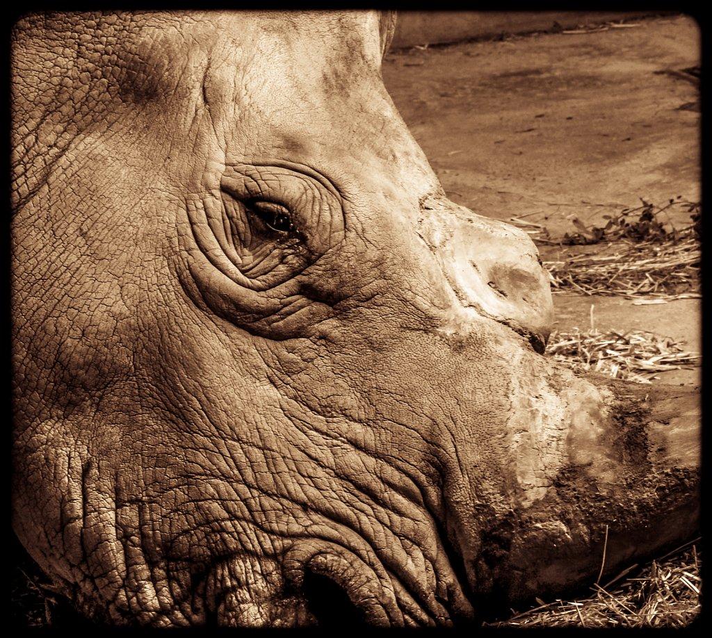 Sick Rhino