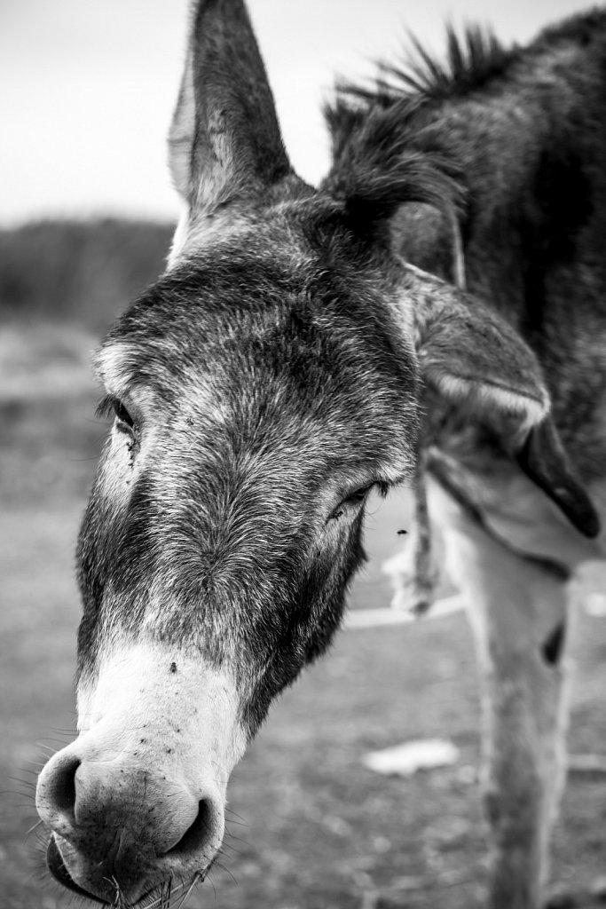 Flies-and-Donkey.jpg